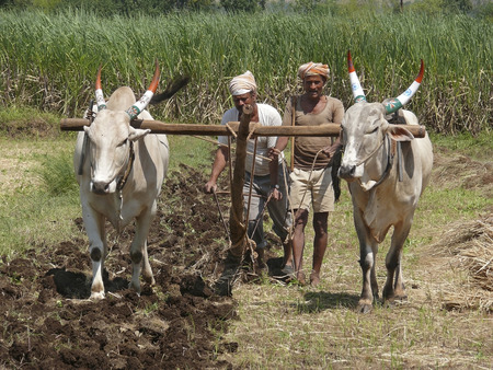 A farmer is ploughing a field by a traditional way, Maharashtra, India