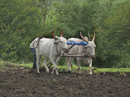 A farmer is ploughing a field by a traditional way, Maharashtra, India photo