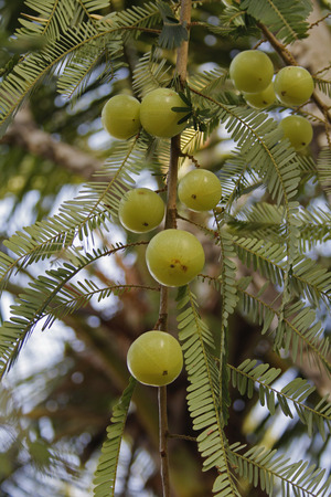 Amla, Emblica officinalis, Indian Gooseberries growing on tree, Ayurvedic medicine and herb fruits. photo