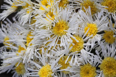 Quilled daisy mum, florists chrysanthemum, Chrysanthemum morifolium Illusion, Dendranthema X grandiflorum photo