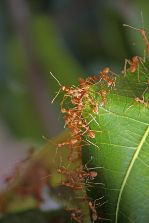 Ants nest of green leaves, red tailor ants, oecophyila smaragdine, India photo