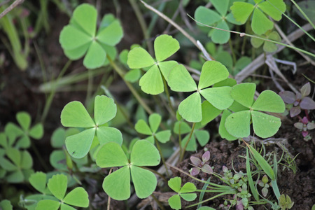 Creeping Wood Sorrel, Creeping Oxalis, Oxalis corniculata photo