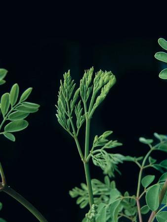 Drumstick Tree, Moringa oleifera syn. M. pterygosperma F Moringacea Stock Photo - 26835041