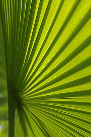 Chinese Fan Palm Livistona chinensis photo
