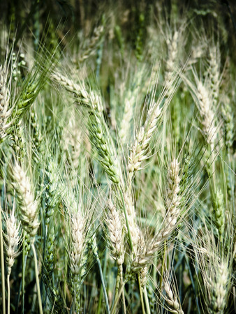 Field of Triticum aestivum L., Wheat crop photo