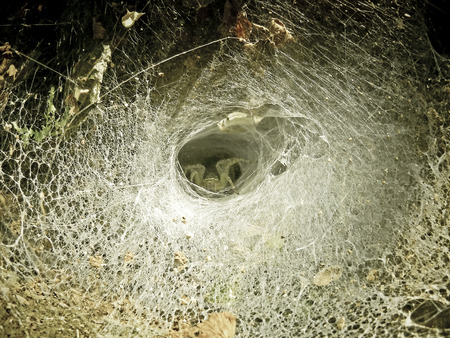 Funnel-web spider. This spider has a wasp in its jaws.Seven of its eight eyes are visible. photo