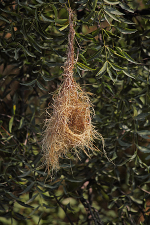 Baya Weaver Bird, Ploceus Philippinus Nest, India photo