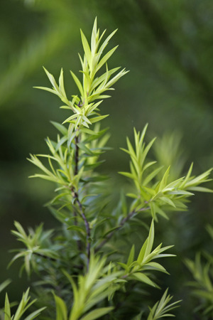 Golden Bottle Brush, River Tea Tree, Black Tea tree, Prickly Leaved Tea Tree, Melaleuca bracteata photo