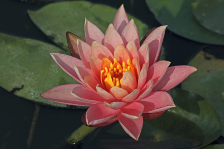 Pink Water Lily, Pink Lotus, Nymphaea pubescens photo