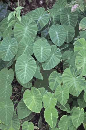 Taro, Colocasia esculenta photo