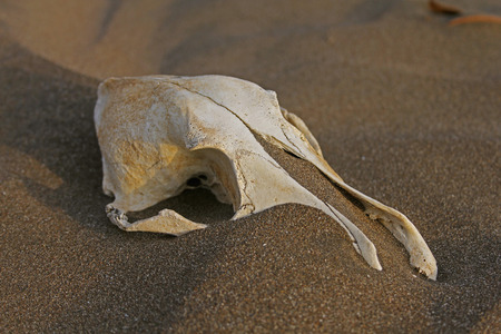 Skull of a domestic dog in sand at seashore, Ratnagiri, Maharashtra, india photo