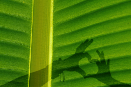 Banana leaf, close up with shadow of human hand in shape of heart, symbol of love photo