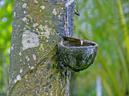 Rubber tree with tapping patches, Kerala, India photo
