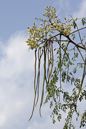Flowers of Drumsticks, Moringa oleifera syn M pterygosperma F Moringacea photo
