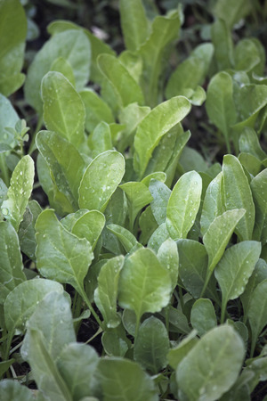 Spinach, Spinacia oleracea photo