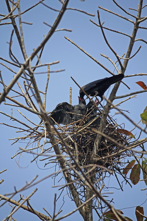 Nest of a house crow, Corvus Splendens with Young ones, India photo