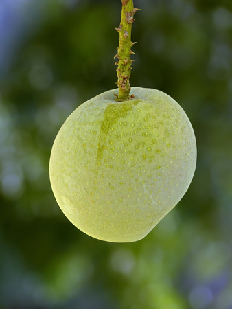 Alphonso mangoes, Mangifera indica L. hanging on a tree, Ratnagiri, Maharashtra, India photo