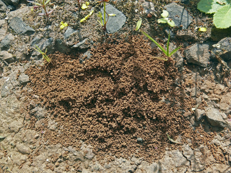 Nest of Common Red ants in soil photo