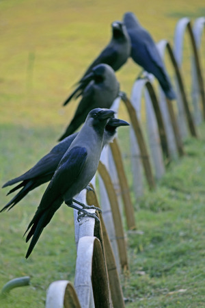 House Crow, Corvus splendens photo