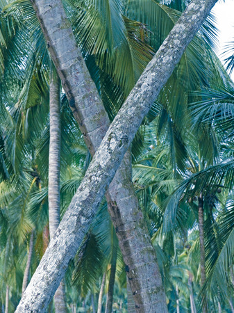 Cross Trunks of coconut tree photo