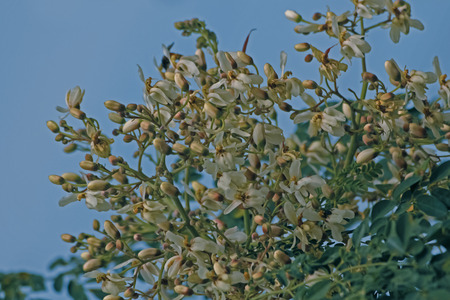 Flowers of Drumsticks, Moringa oleifera syn. M. pterygosperma F Moringacea photo
