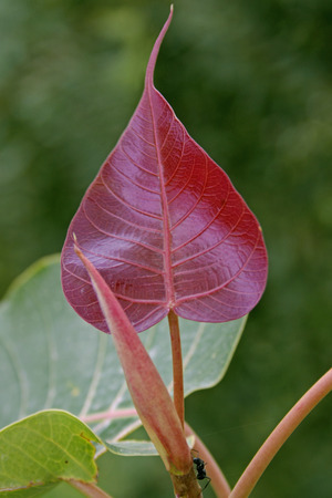 young leaf, Ficus Religiosa plant photo