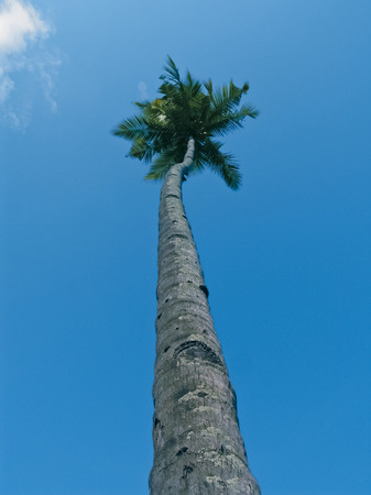 Coconut, cocos nucifera palms photo