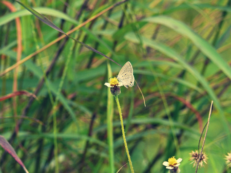 arthropoda: Close up of Chilades pandava pandava s little butterfly, Chilades pandava pandava, Cycad blue, Plains cupid