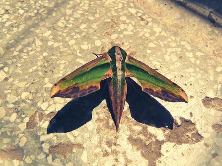 Green Hawk Moth Banco de Imagens