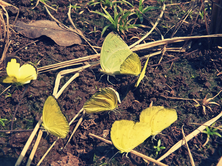 Sleepy Yellow butterfly, Eurema nicippe, swarming a field full of a Sulphur host plant, Cassia obtusifolia
