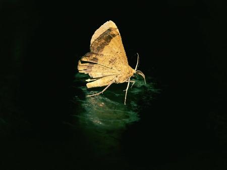 gold colour: Brown moth