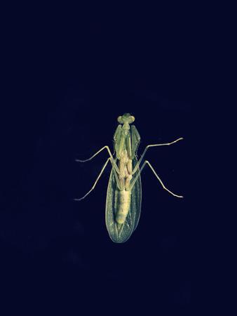 arthropoda: Green lacewing, Chrysopa sp, Crisopa