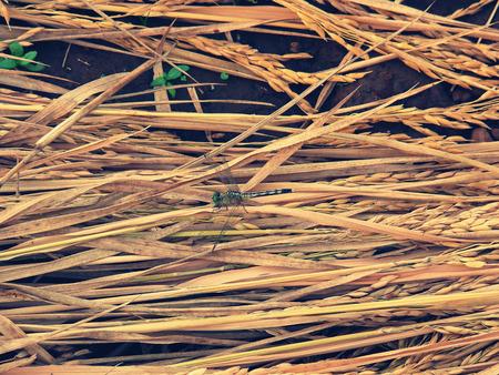 pune: Black-tailed Skimmer Dragonfly, Orthetrum cancellatum, Maharashtra, India
