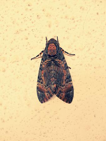 arthropoda: Deaths Head Hawk moth. Maharashtra, India. Stock Photo