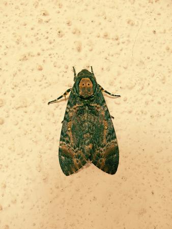 maharashtra: Deaths Head Hawk moth. Maharashtra, India. Stock Photo