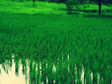 Paddy field of rice crop, Rice, Oryza Sativa Stock Photo