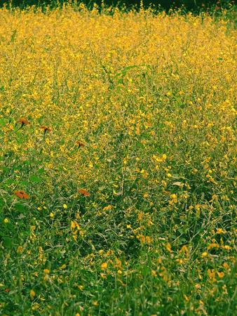 maharashtra: Bristly Smithia, Smithia setulosa, Plateau of flowers, Kaas plateau, Kaas, Satara, Maharashtra, India