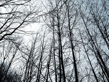 Silhouette of trees in the village in winter days in colors and in black and white version.