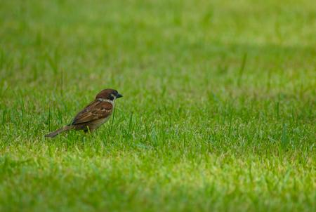 litle: the small litle bird on grass
