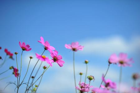 Pink cosmos flower on blue sky cloud background in garden field pink cosmos flower on blue sky cloud background in garden field so beautiful plant and fresh mightylinksfo