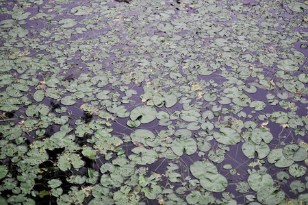 group of green leaf lotus in river surface
