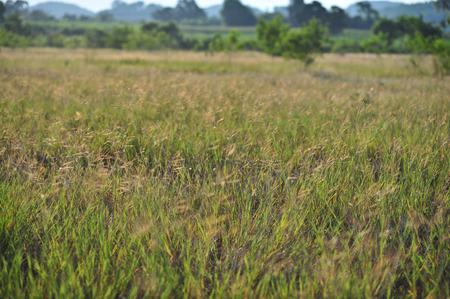 grass field in evening sunset