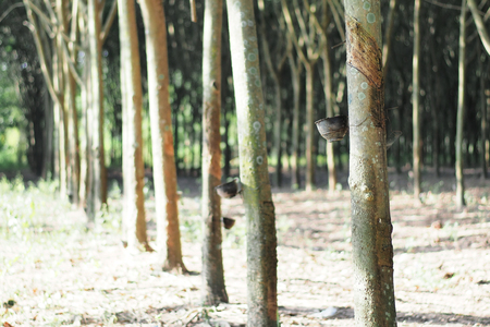 rubber tree field process before production in thailand Imagens