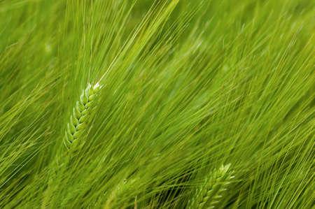 greengrass: wheat field