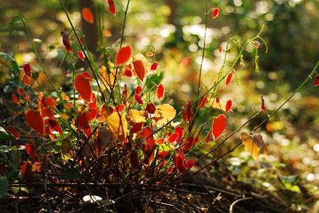 red bush: Autumn red bush