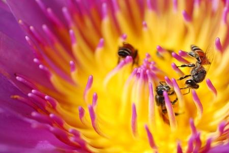 Lotus with three bee photo