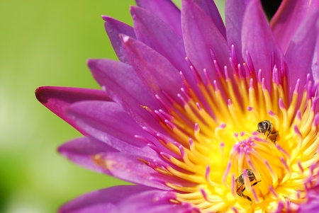 Lotus with bee photo