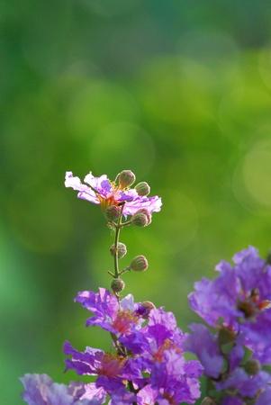 safran: violet flowers on bokeh