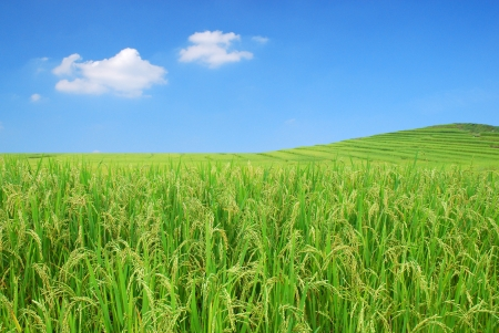 cultivated land: Rice Field