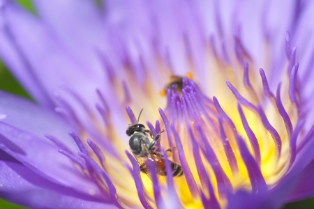 Violet lotus with bee photo